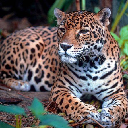 jaguar-1377982